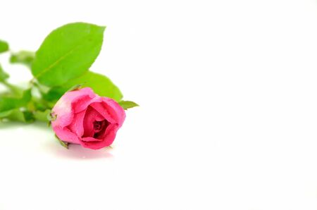 Roze roos geïsoleerd op witte achtergrond