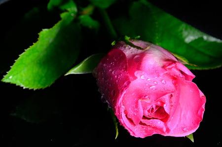 Roze roos geïsoleerd met zwarte achtergrond Stockfoto
