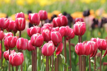 red and pink tulips line photo