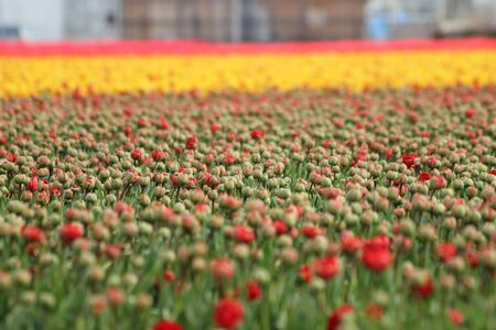 a blured red tulips field Stock Photo - 13313408