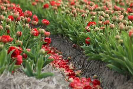 a blured red tulips field close up photo