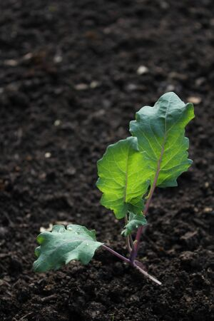 fresh kohlrabi plant photo