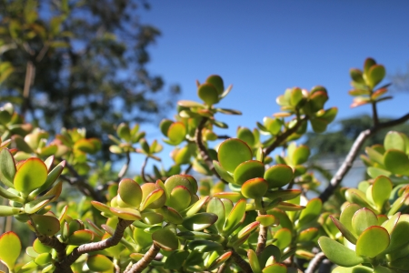 crassula: thick leaf plant and summer sky