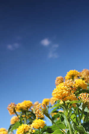 yellow flower meadow and blue sky photo