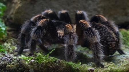 flauna: tarantula
