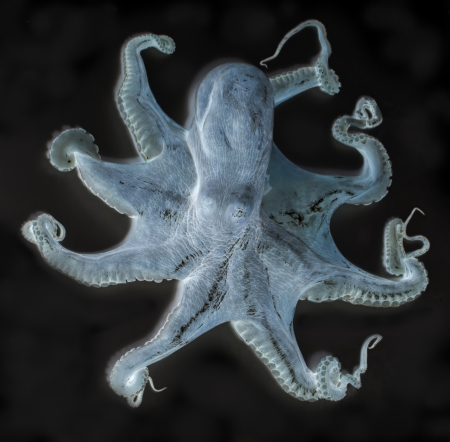 octopus x-ray style photo