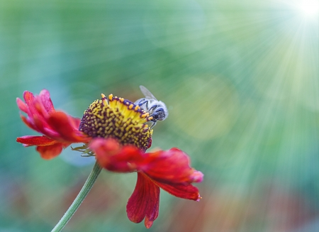 bee pollen: honingbij op bloem Stockfoto