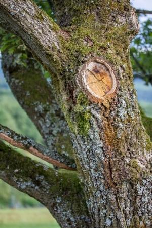 knothole: knothole in an old oak