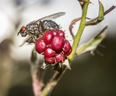 housefly: housefly outdoors Stock Photo