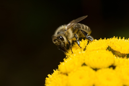honey bee on flower photo