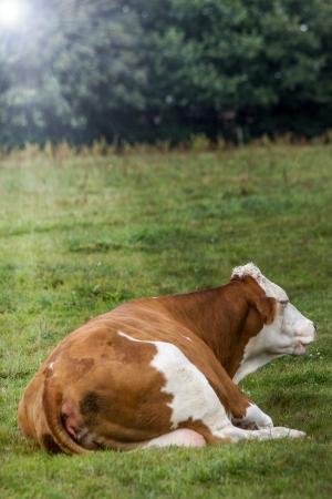 monta�as caricatura: alem�n bovina