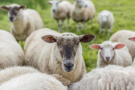 australia day: sheeps in the countryside Stock Photo