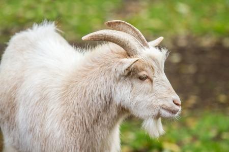 a goat outside Stock Photo