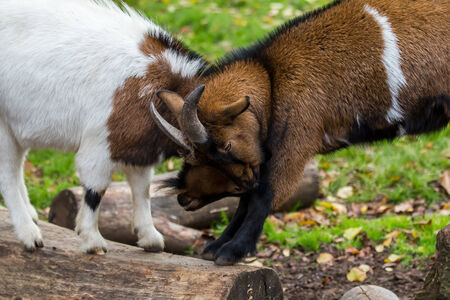goat fight photo