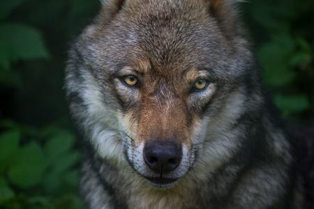 european grey wolf photo