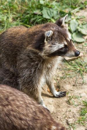raccoons: raccoons