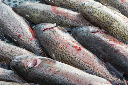 fish breeding: fresh fished trout preparation Stock Photo
