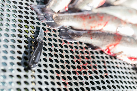 fished: fresh fished trout preparation Stock Photo