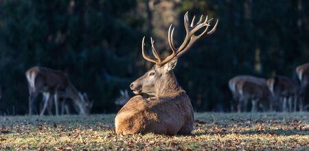 deer in the autumn