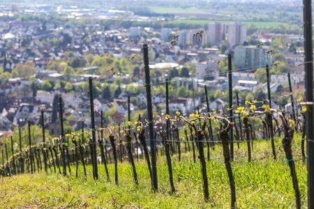 historic city bensheim in hesse germany with whine vineyards
