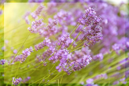 sunny lilac floral backgrounds Stockfoto - 126523782