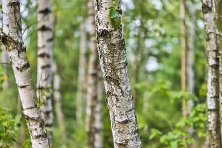 pastel birches forest summer background Stockfoto