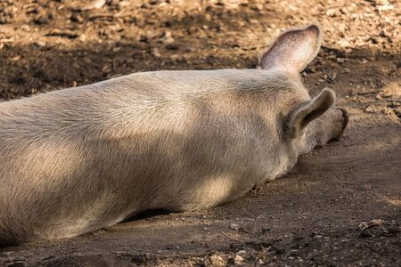 an porker sleeping in the mud