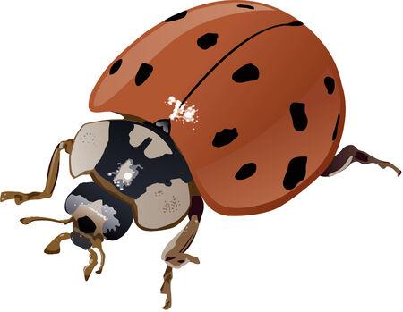 Asian Lady bug (Harmonia Axyridis) illustration. Layer separated CMYK image. Фото со стока - 5807480