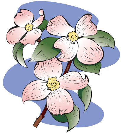 Detailed illustration of a Red Flowering Dogwood.. Hand-drawn style. CMYK color