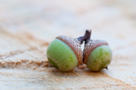 Two small newly-fallen green acorns lie on a peace of wood. Shallow focus used.