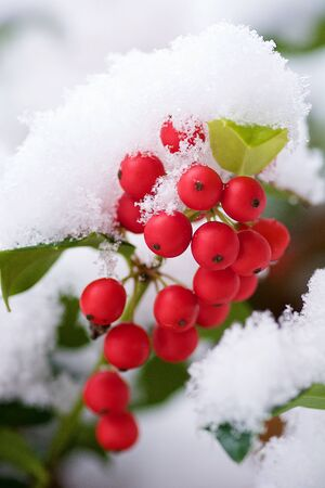 An early snowfall covers the fruit of a Holly plant. Banque d'images