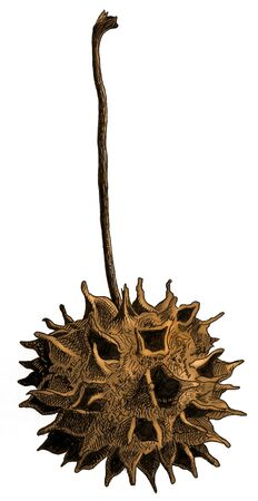 Botanical illustration of the dried fruit of a sweetgum tree.