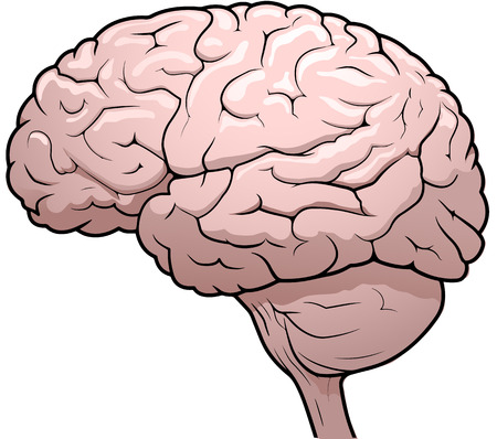 Side view drawing of a human brain