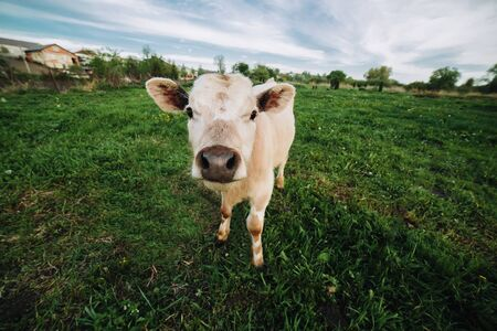 cow tongue: animal in the meadow looking right at the camera