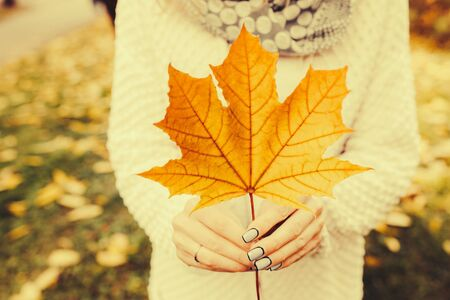 red gram: Autumn leaves in girl hands toned Stock Photo