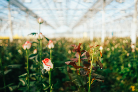 Rose serra crescono sotto la luce del giorno. Archivio Fotografico - 91617940
