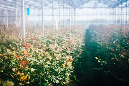 Rose serra crescono sotto la luce del giorno. Archivio Fotografico - 94309664