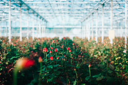 Greenhouse roses growing under daylight. Archivio Fotografico - 96307345