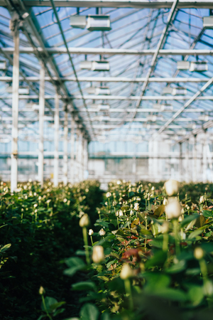 Greenhouse roses growing under daylight. Archivio Fotografico - 96307355