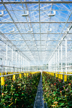 Greenhouse roses growing under daylight. Stockfoto