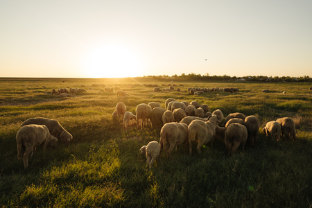 A lot sheep on the beautiful green meadow Stok Fotoğraf
