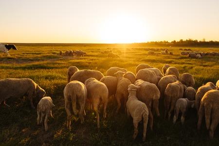 A lot sheep on the beautiful green meadow Banco de Imagens
