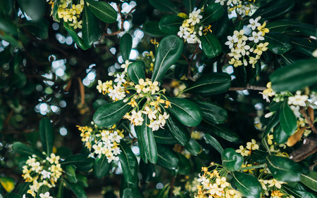 Pittosporum Tobira flowers and leaves, close angle