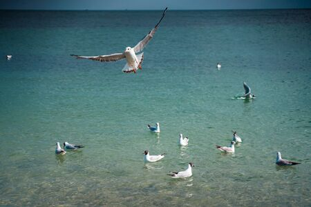 Seagulls are float and fly over the sea surface