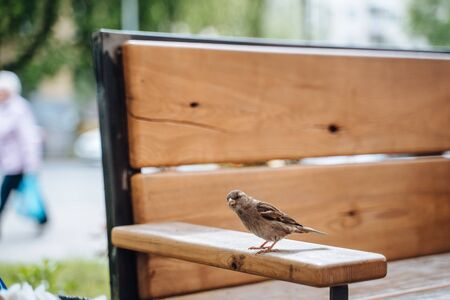 Bird in city. Sparrow sitting on table in outdoor cafe