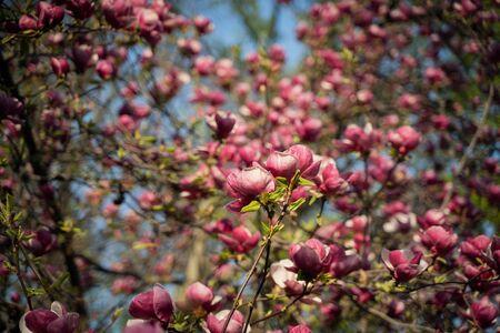 Flowers of pink magnolia. Magnolia tree blossom