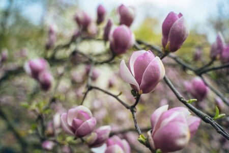 Flowers of pink magnolia. Magnolia tree blossom Stock Photo - 130123255