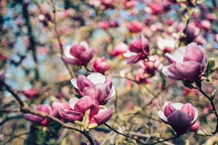Flowers of pink magnolia. Magnolia tree blossom