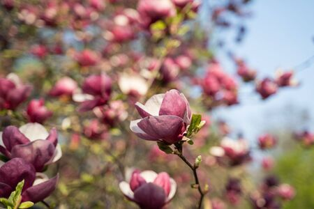 Flowers of pink magnolia. Magnolia tree blossom Stock Photo - 131760429