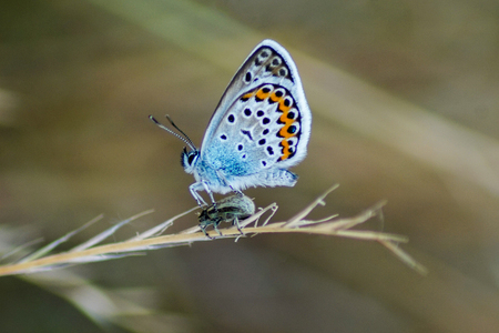 Blue-eyed butterfly (Lycaenidae) a beetle in front of a blurred bokeh background